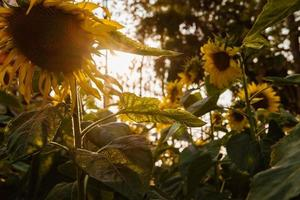 Sunflowers silhouetted in sunlight photo