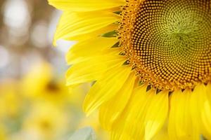 Sunflower with bokeh background photo