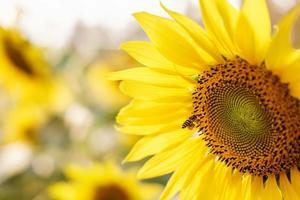 Bright yellow sunflower petals photo