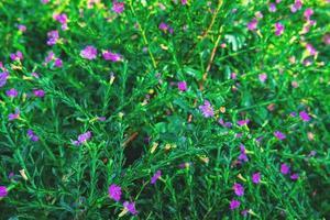 False purple heather flowers photo