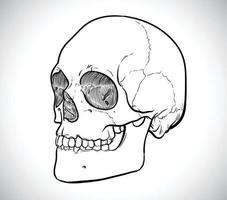 Skeleton line drawing of human head vector