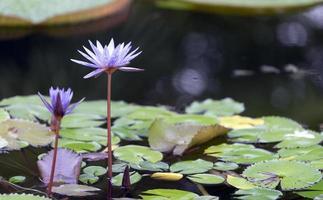 Flores de lirio de agua en la superficie de un estanque o lago foto