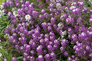 Patch of lilac flowers photo