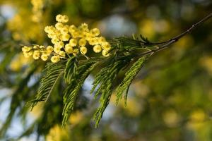 Yellow flowers on an acacia dealbata, or silver wattle, or blue wattle or mimosa photo