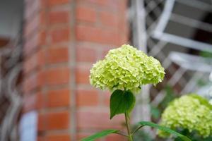 Close-up of a green hydrangea next to a brick wall photo