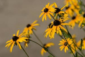 primer plano, de, amarillo, zinnias foto
