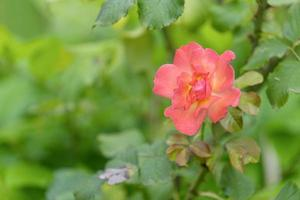 Close-up de una rosa naranja con un fondo verde borroso foto