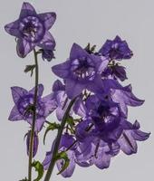 primer plano, de, campana azul, flores foto
