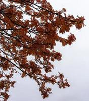 Red leaves on a tree against a cloudy sky photo