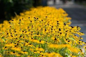 Patch of rudbeckia hirta or black-eyed Susan flowers photo