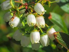 primer plano de flores de arándano foto