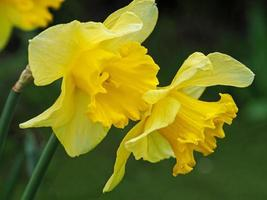 Close-up of daffodils photo