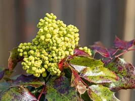 brotes amarillos en un arbusto de acebo foto