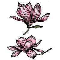 Pink Magnolia flower and leaf drawing illustration with line art on white backgrounds. Vector illustration