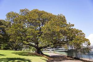 Moreton Bay fig on a walkway in Sydney, Australia photo