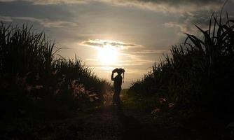 Agricultor silueta de mujer de pie en la plantación de caña de azúcar en el atardecer foto