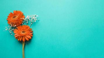 Gerberas white flowers on turquoise background