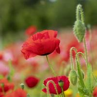Close-up of a red poppy flower and buds in a garden