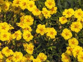 flores amarillas de helianthemum foto