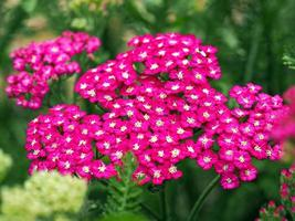 flores de milenrama rosa foto