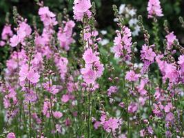 flores de la pradera rosa foto