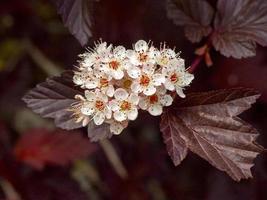 flores blancas de nueve corteza foto