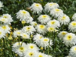 Margaritas shasta blancas y amarillas en un jardín. foto