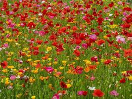 amapolas mezcladas de colores en un jardín de verano foto