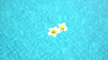 Deux fleurs bugenvilia frangipanier blanc sur l'eau video
