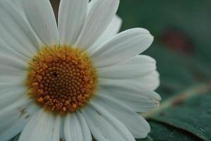 hermosa flor de margarita en la temporada de primavera foto