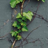 hojas verdes en la pared gris en la temporada de primavera foto