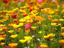 Field of mixed poppy flowers