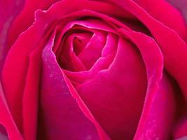 primer plano de rosa roja foto