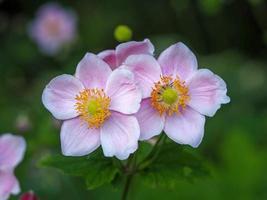 Dos pequeñas flores de anémona rosa en un jardín. foto