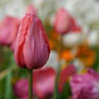 Pink and red tulips in the garden in spring season photo