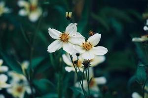 Beautiful white flowers in the garden in spring season photo