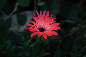 Beautiful red flower plant in the garden in springtime photo