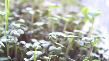 microgreens de salada de agrião cultivados em uma bandeja no parapeito de uma janela