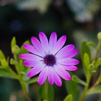 Beautiful pink flower plant in the garden in springtime photo