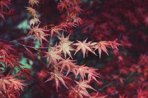 Red tree leaves in autumn season, autumn colors