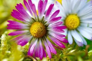 Hermosa flor de margarita en el jardín en primavera foto
