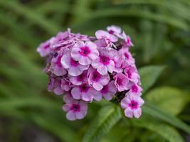 flores de phlox rosa foto
