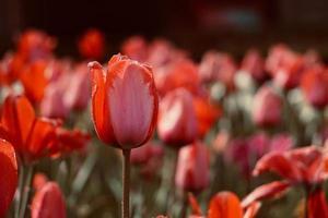 Romantic red tulips in the garden in spring season photo
