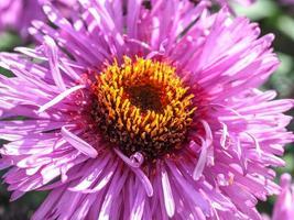 primer plano de aster púrpura foto