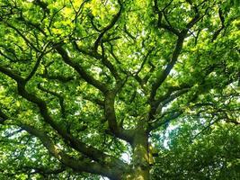 Lush green oak tree