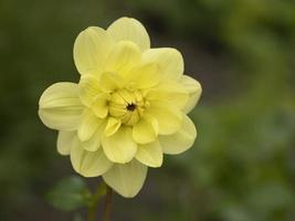 flor de narciso amarillo foto