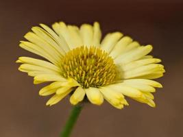 flor amarilla de fleabane foto