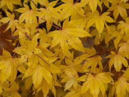 Yellow acer leaves photo