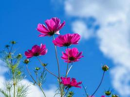 Pink cosmos against a blue sky photo