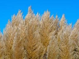 Soft pampas grass photo